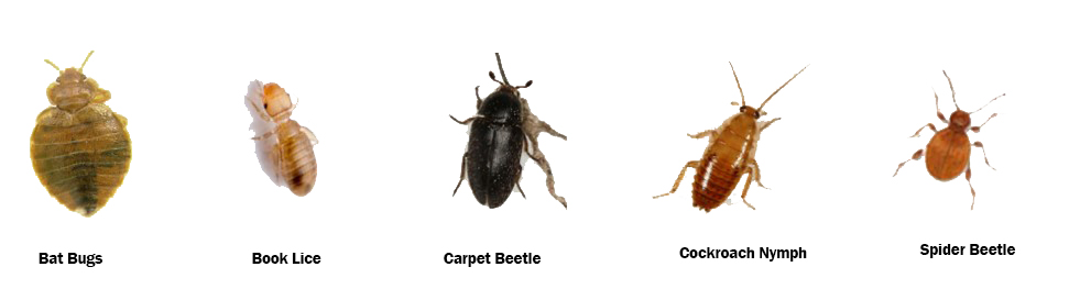 bed bug look alikes